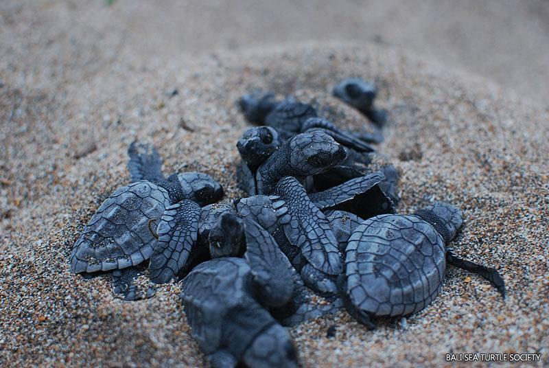 Черепахи на Бали